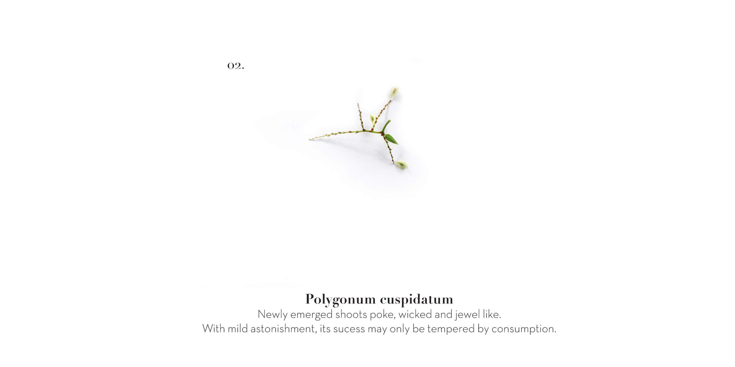 RSE_Plants we decide not to eat_ 2 Polygonum invite_Page_1
