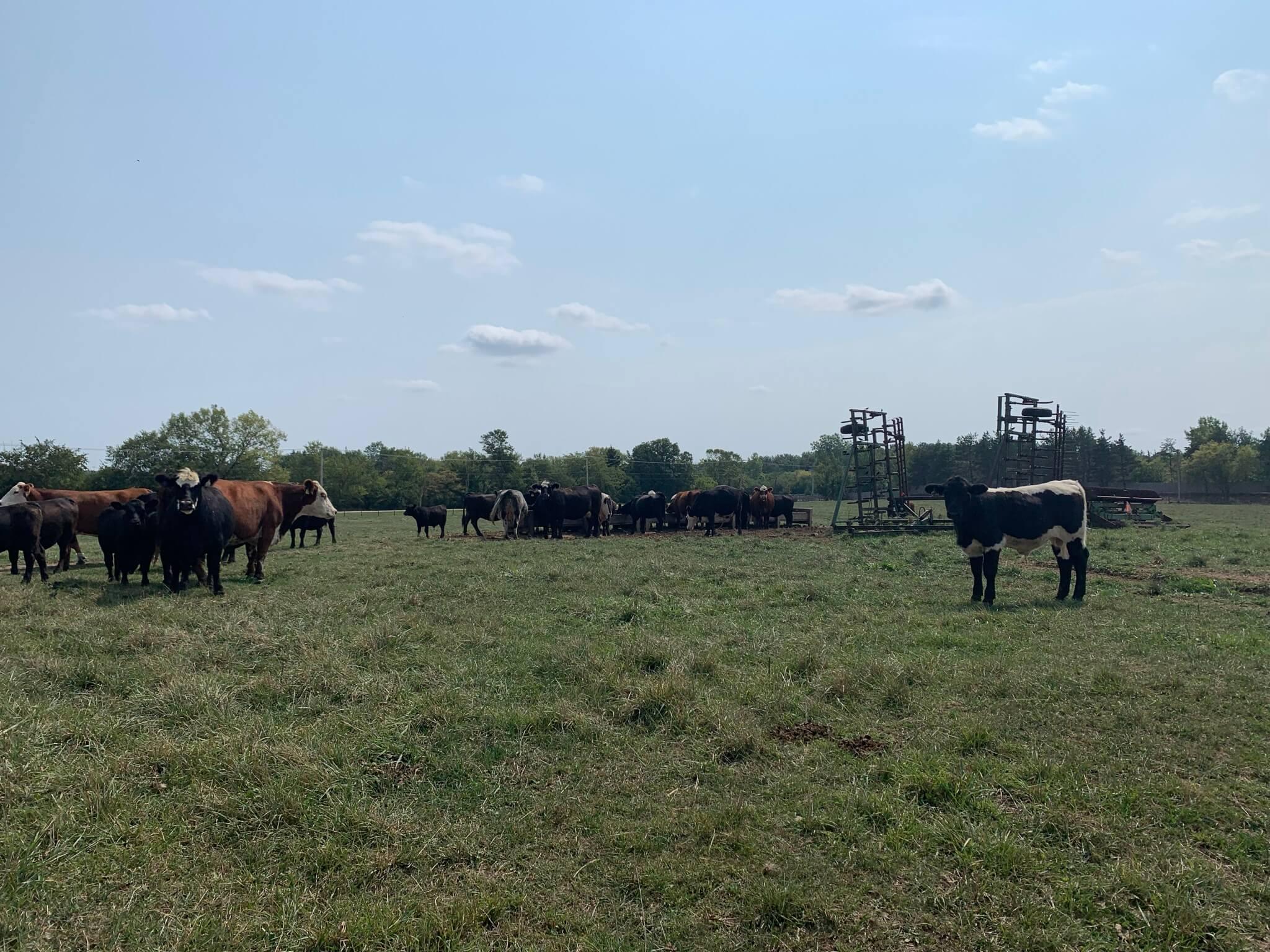 ORR_Cows